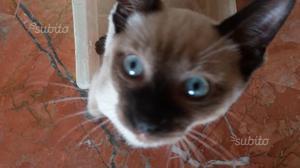 Gattino siamese 3 mesi