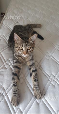 Gatto maschio 4 mesi