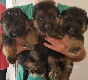 Meravigliosi cuccioli con pedigree
