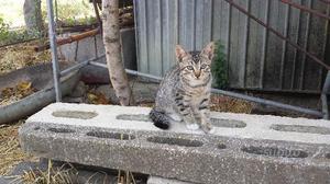Regal gattini