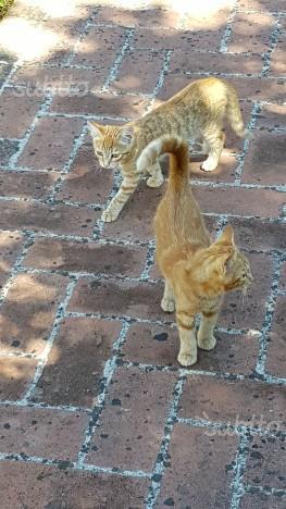 Regalo gattini rossi