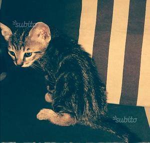 Regalo gattino (incrocio con orientale)
