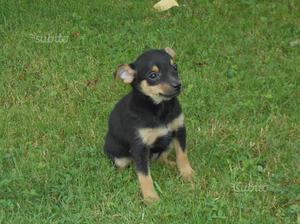 Stupendo cucciolo incrocio Pinscher-Chihuahua