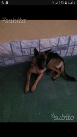 Cane cucciolo pastore tedesco 4 mesi