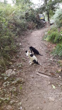Cucciola di border collie