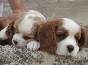 Cuccioli di Cavalier King con pedigree ENCI