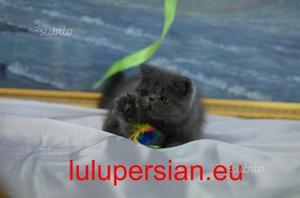 Cuccioli exotic shorthair