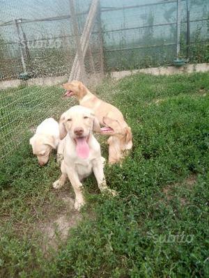Labrador retriever cuccioli