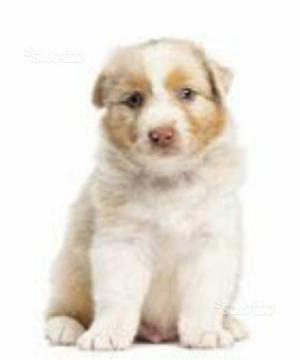 Pastore australiano cucciola