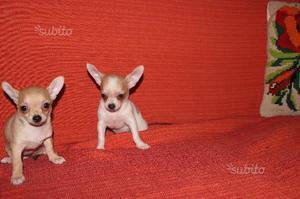 Ultimo cucciolo incrocio pinscher nano e chihuahua