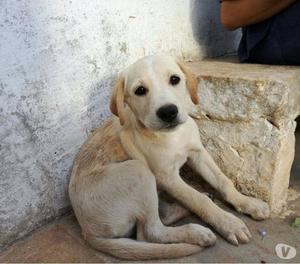 Sam incrocio labrador ha solo 3 mesi