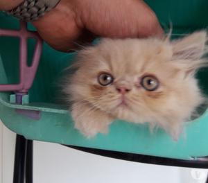 Gattina persiana pura bellissima