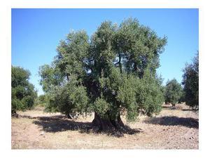 Piante di ulivo secolari per il giardino posot class for Vendita piante ulivo