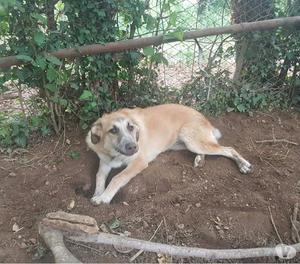 Luce, cucciolona incrocio pastore belga