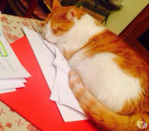 gatta smarrita bianca e rossa