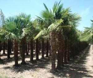 Piante da giardino palme excelsia posot class - Trapianto camelia ...