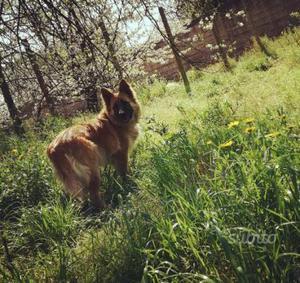 Cane femmina simil pastore tedesco 5 anni taglia g
