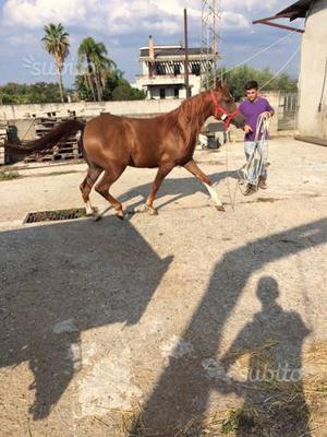 Cavalla araba