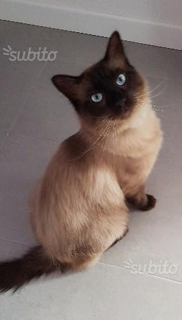 Gatto siamese a pelo lungo