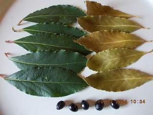 Alloro in foglie (vendo)