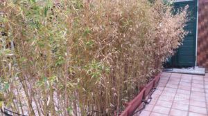 Piante di bambu