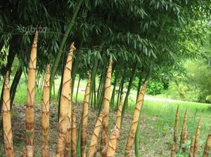Rarissima pianta di Phyllostachys Dulcis bambù