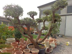 Bonsai ulivo posot class for Bonsai da frutto vendita