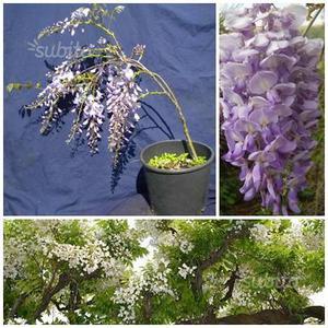 Glicine wisteria sinensis posot class for Glicine bonsai prezzo