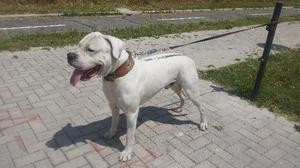 DISPONIBILE Dogo Argentino