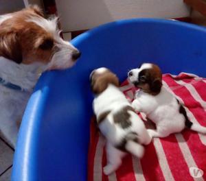 Cuccioli di Jack Russel Terrier