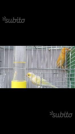 Coppia di canarini