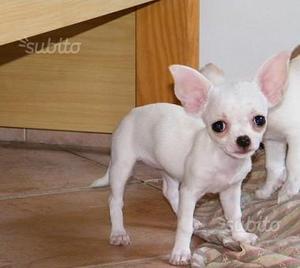 Cuccioli di Chihuahua Femmina Pelo Corto