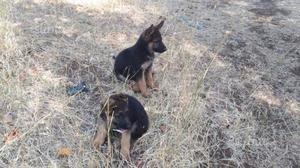 Cuccioli di Pastore Tedesco maschio e femmina