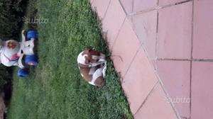 Cucciolo di Juke Russel maschio