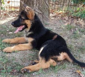 Cucciolo pastore tedesco con pedigree d allevatore