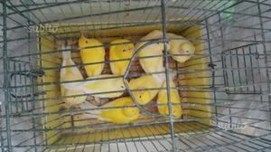 Gabbie e canarini