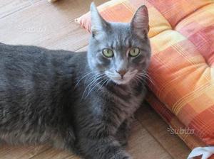 Regaliamo un gatto grigio