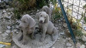 Splendidi cuccioli di Weimaraner