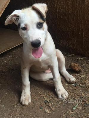 Stupenda cucciola incrocio pastore tedesco-pitbull
