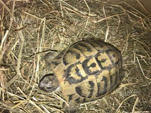 Tartaruga di terra maschio di 7 anni riproduttivo