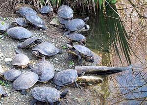Tartarughe d acqua scripta elegans tartaruga posot class for Prezzo tartarughe