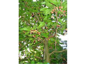 Alberi sempreverdi stracarichi di bacche rosse posot class for Vivai piante