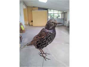 Uccelli imbalsamati per la caccia (tassidermia) no