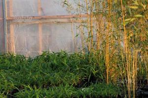 Piante di bambù gigante MOSO