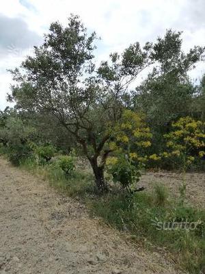 Piante di olivo (ulivo) di  anni produttive