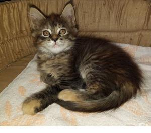 Bellissimi cuccioli di gatto Maine Coon disponibili a Torino