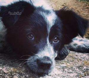 Border collie cucciola