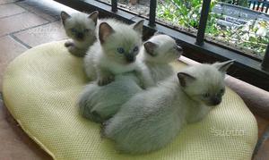 Cuccioli gattini siamesi thai