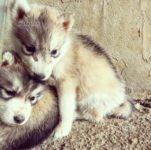 Cuccioli husky siberiano