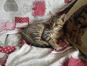 Gattino di due mesi